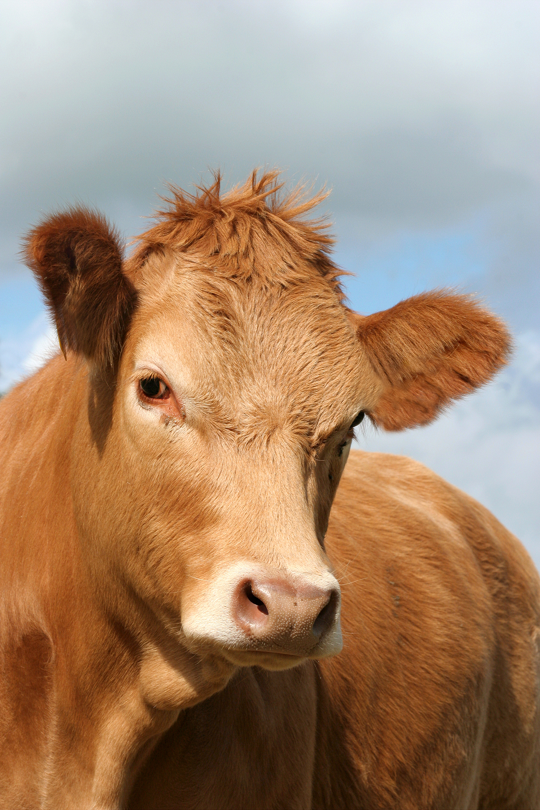 Are You A Brown Cow Blog The Prospecting Expert